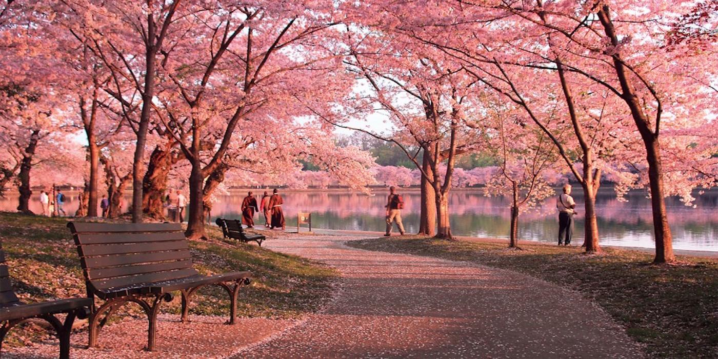 Cherry-Blossom-31